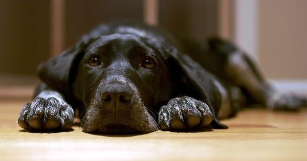 Black_dog_lying_on_the_floor