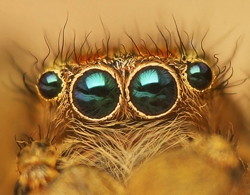 Eyes_of_Jumping_spider