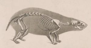 Die_vergleichende_Osteologie_(1821)_Cricetus_cricetus