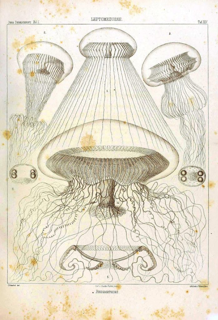 Monographie der Medusen (1879). Ernst Haeckel. Scan of 2 d images in the public domain believed to be free to use without restriction in the US.